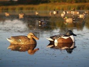 The More You Know: A group of ducks is called a paddling. Strat Quack